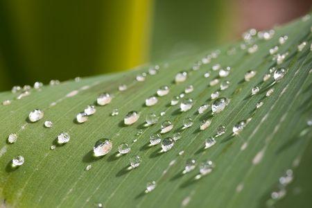 rain water drops on banana tree leaf Stock Photo - 1808908