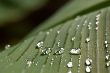 rain water drops on banana tree leaf Stock Photo - 1808902