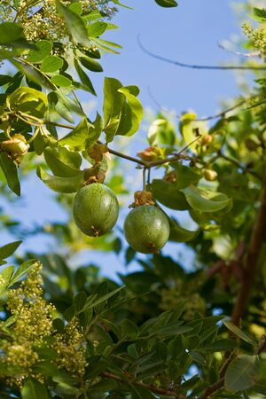 grenadilla: a green passionfruit on the tree with leaf