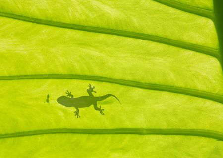 a leaf with lizard gecko and spider shadow photo