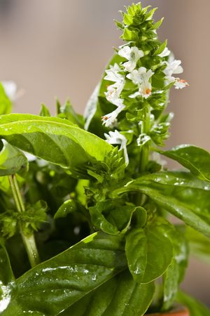 white basil flower and fresh leaves with water drops Stock Photo - 2085516