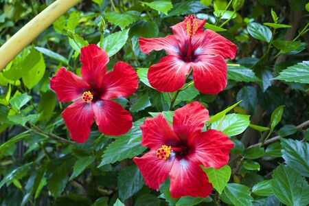 three beautiful red hibiscus with green leaves Stock Photo - 3615847