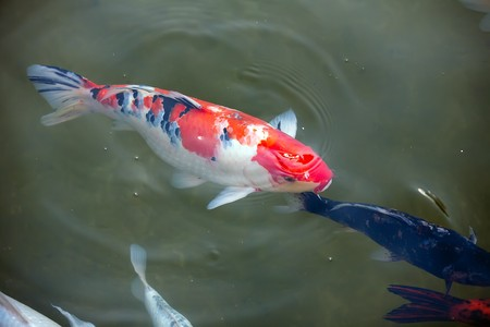 Koi fish near the surface of their pond