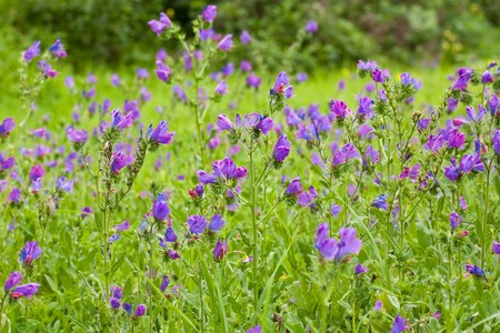 a field of violet mountain flower with green background photo