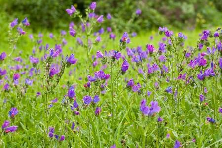 pole kwiatu fioletowe górskich z zielonym tÅ'em Zdjęcie Seryjne - 4134902