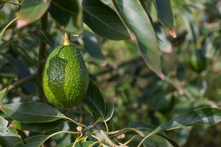 a green branch of avocado fruit on tree. photo