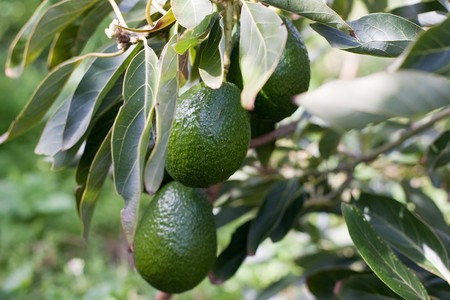 a green branch of avocado fruit on tree.