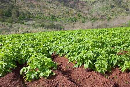 Potato field with young potato plants on sunny day.