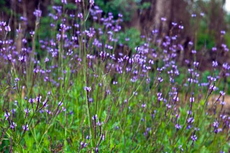 lavendin: a bunch of lavander flowers in the forest