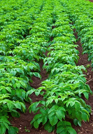 rows of green potato plant in field Stock Photo