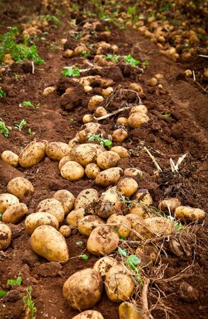 fresh and raw potato on a field photo