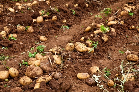 fresh and raw potato on a field Stock Photo - 9659773