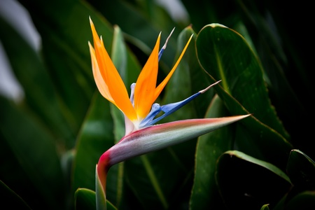 bird of paradise: bird of paradise flower on green background Stock Photo