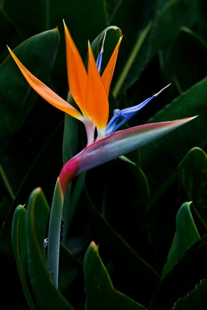 bird of paradise flower on green background photo