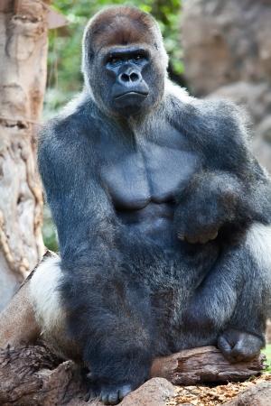 a big gorilla silver back male in the zoo photo