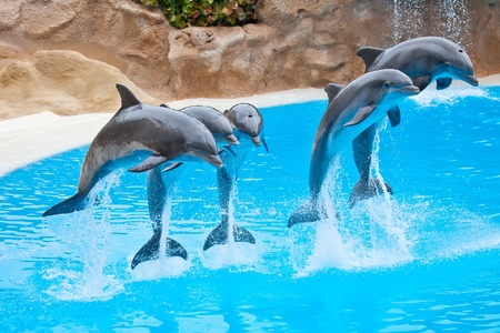 five bottlenose dolphins jumping in blue water Stock Photo