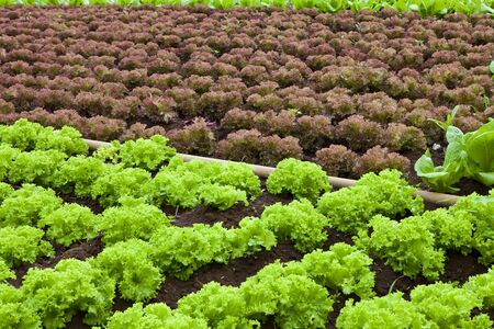 organic farming: green and red healthy lettuce growing in the soil Stock Photo