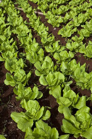 green and red healthy lettuce growing in the soil photo