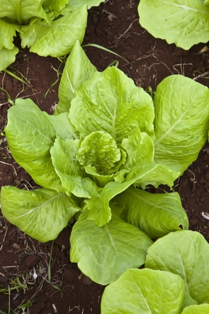 green  healthy lettuce growing in the soil photo