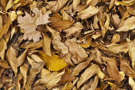 senescence: colorful autumn leaves in a chestnut forest