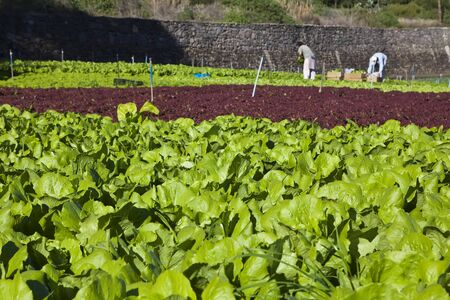two  farm workers collectings lettuce in green land photo