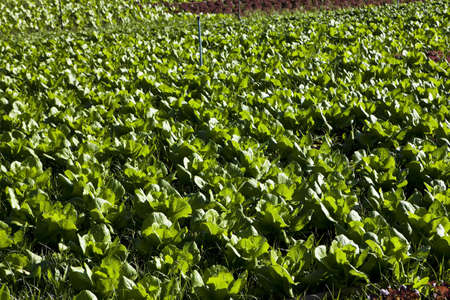 a field of green lettuce under the sun photo