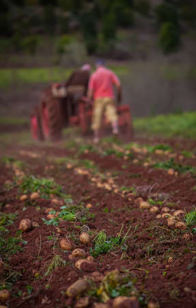working in a potato field with old tractor photo
