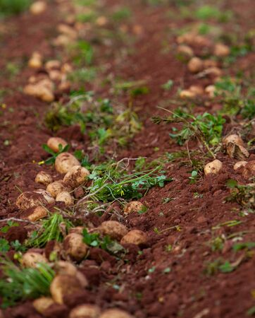 soil conservation: field of fresh raw potato during harvest