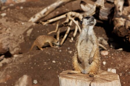 Meerkat Family basking in the sun on the african desert zoo Stock Photo - 12913635
