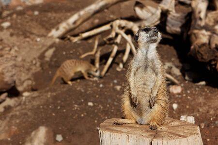 Meerkat Family basking in the sun on the african desert zoo Stock Photo - 12913635