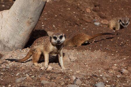 taller: Meerkat Family basking in the sun on the african desert zoo Stock Photo