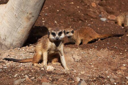 Meerkat Family basking in the sun on the african desert zoo Stock Photo - 12913636