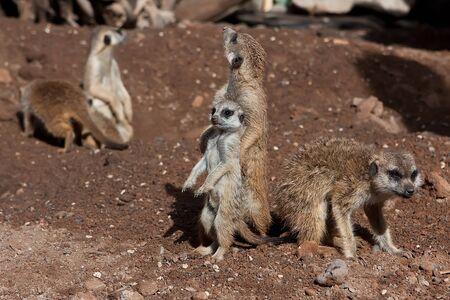 Meerkat Family basking in the sun on the african desert zoo Stock Photo - 12913639
