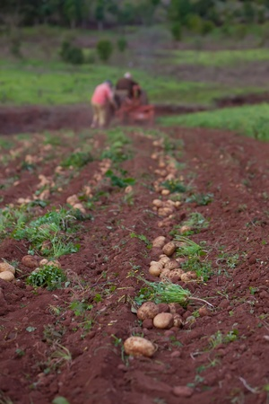 working in potato field with old crawler Stock Photo - 13039658