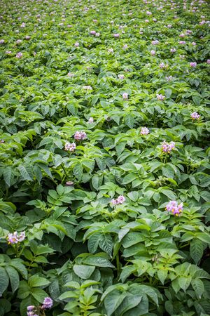 solanaceae: rows of potato with pink flower in field Stock Photo
