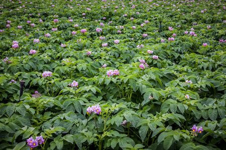 furrows: rows of potato with pink flower in field Stock Photo