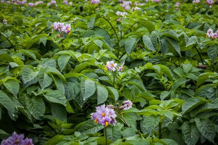 rows of potato with pink flower in field photo