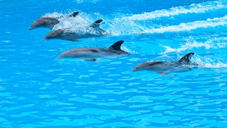 five bottle nose dolphin swiming in the pool