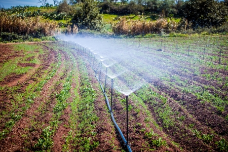 water irrigation of potato field on sunny day photo
