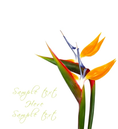 bird of paradise plant: two exotic and tropical flower, strelitzia on white background