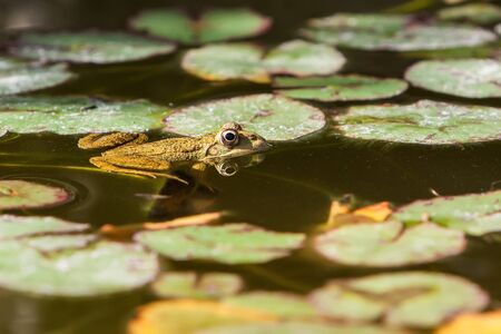 subspecies: green frog in a leaf on the pond