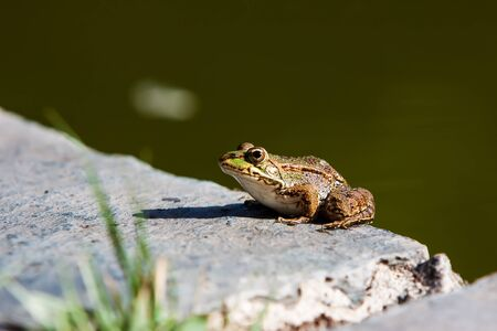 subspecies: green frog in a rock near a pond