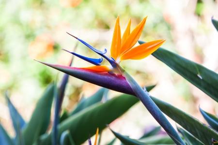 bird of paradise flower on a tropical garden.