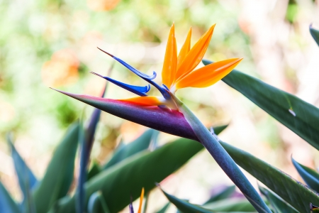 bird of paradise flower on a tropical garden. photo
