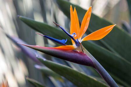 bird of paradise  flower: bird of paradise flower on a tropical garden.