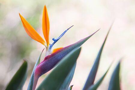 ave del paraiso: ave del paraíso de flores en un jardín tropical.