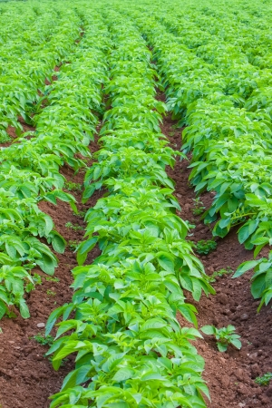 potato field: Rows of recently sprouted potatoes growing in a field