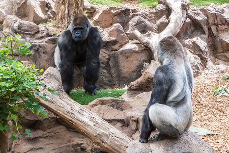 silverback: two big male silverback gorilla on zoo