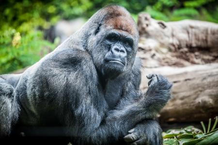 gorila: Silverback gorila macho grande mirando a la c�mara Foto de archivo