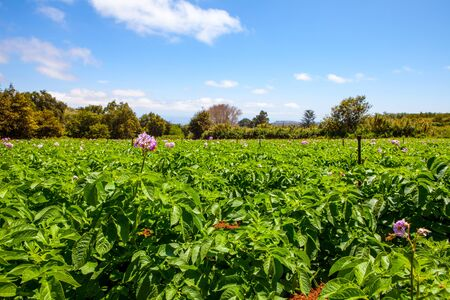 potato field: potato fiel with a lot of plants with flowers